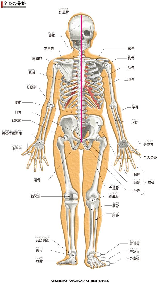 人体の骨格図